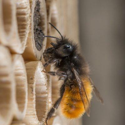 Gehörnte Mauerbiene (Osmia cornuta) mit Lehm am BeeHome